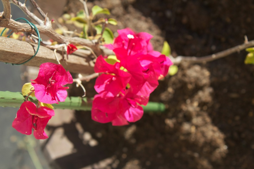 Our bougainvillea that I want so desperately to grow and 'sweep' the front of our house.